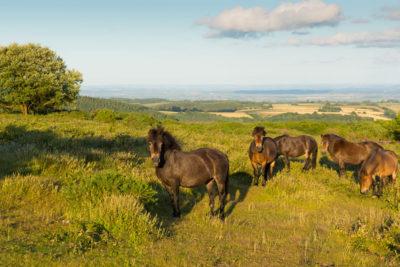 Quantock Hills Ponies